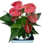 Anthurium Plant Only close