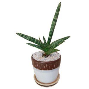 Boncellensis In A Pot