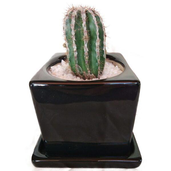 Cactus In A Ceramic Cube Pot