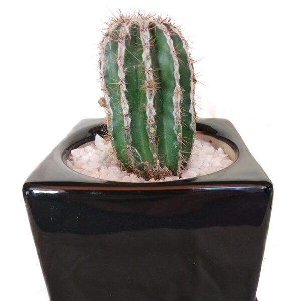 Cactus In A Ceramic Cube Pot close-up