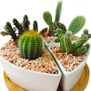 Cactus set of 4 close-up