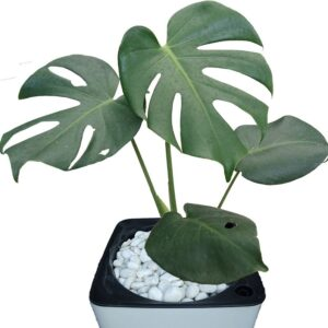 Monstera In Pot close-up