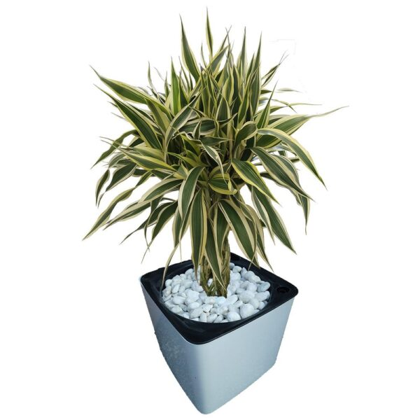 Platted Bamboo in a pot
