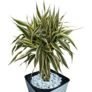 Platted Bamboo in a pot close-up